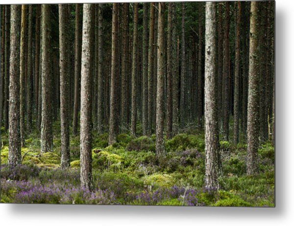 Camore Wood Scotland Metal Print