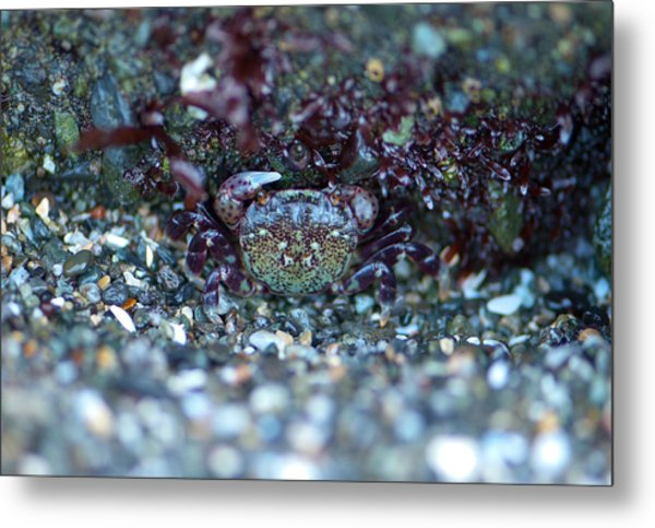 Camouflaged Crab Metal Print by Sarah Crites