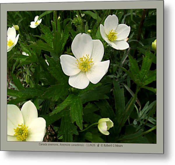 Canada Anemone - Anemone Canadensis - 11jn26 Metal Print by Robert G Mears