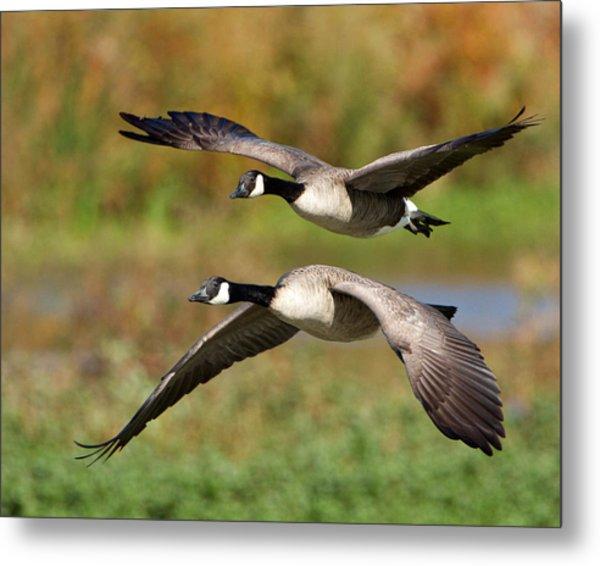 Canada Geese Flying Metal Print