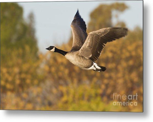 Canada Goose In The Skies  Metal Print