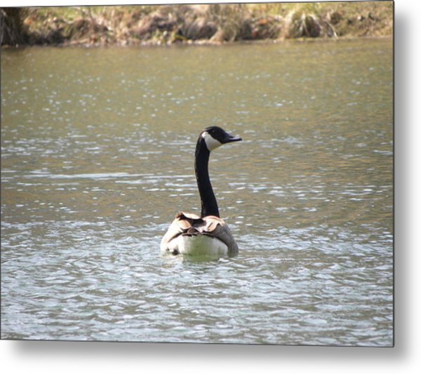 Canadian Goose Swimming Metal Print by Cim Paddock