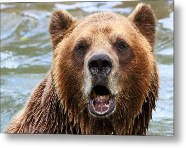 Canadian Grizzly Metal Print