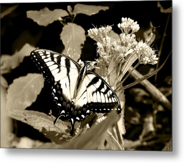 Canadian Tiger Swallowtail In Sepia Metal Print