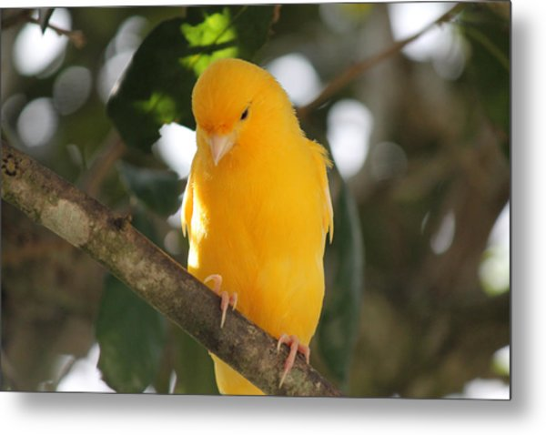 Canary Yellow Beauty Metal Print