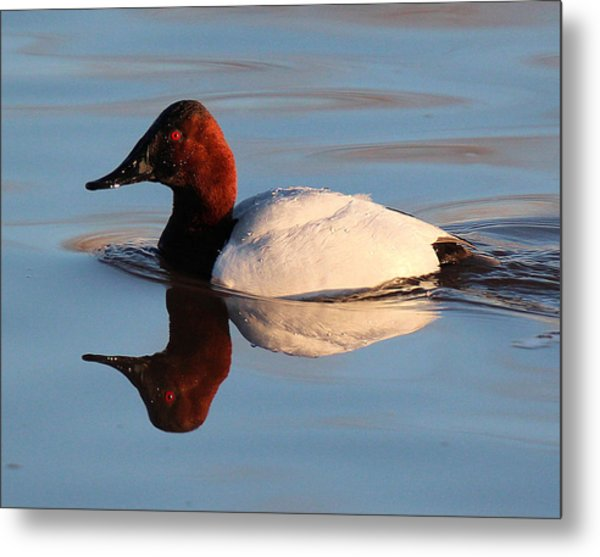 Canvasback Drake Reflection Metal Print