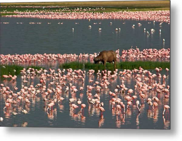 Cape Buffalo And Lesser Flamingos Metal Print