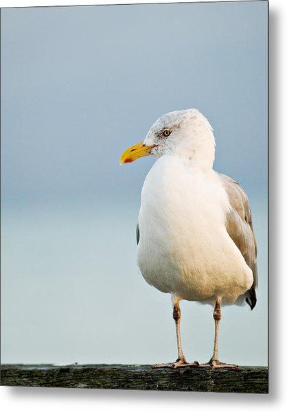Cape Cod Seagull Metal Print