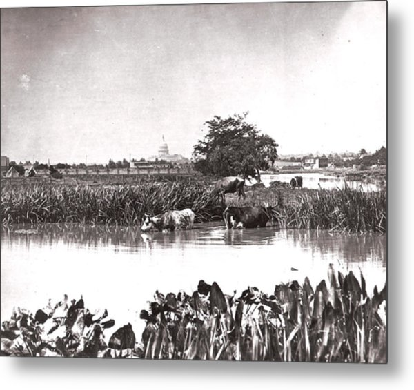Capitol Cows Metal Print by Charles Somerville