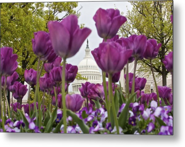 Capitol With Tulips Metal Print