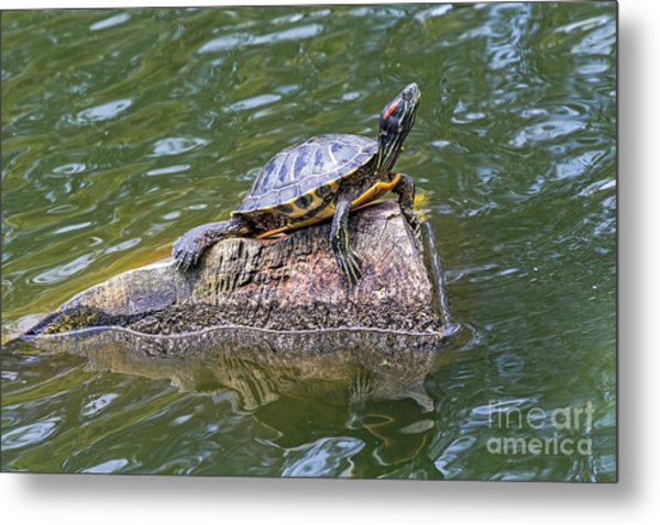 Metal Print featuring the photograph Captain Turtle by Kate Brown