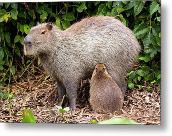 Capybara Suckling Metal Print by Paul Williams