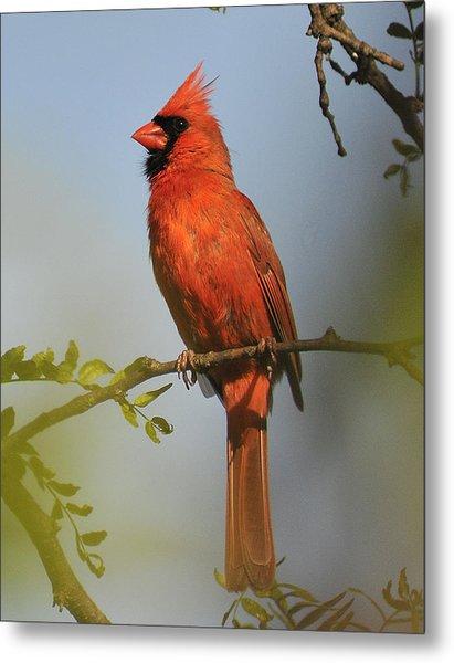 Cardinal 329 Metal Print