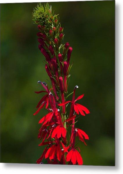 Cardinal Flower Metal Print