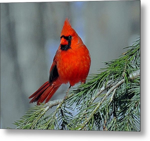 Cardinal In An Evergreen Metal Print