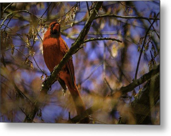Cardinal In Waiting Metal Print by Barry Jones