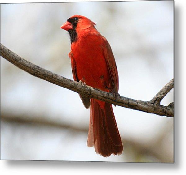 Cardinal On Branch Metal Print