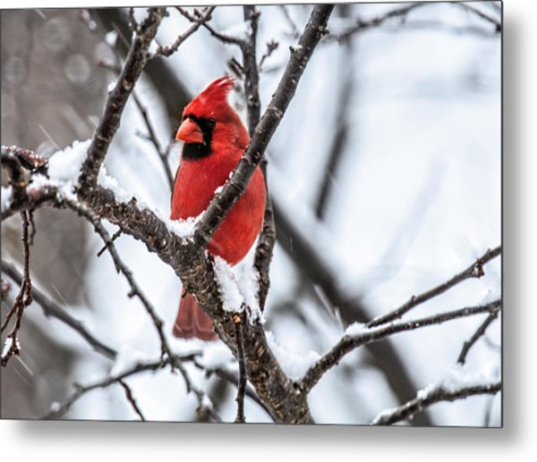 Cardinal Snow Scene Metal Print