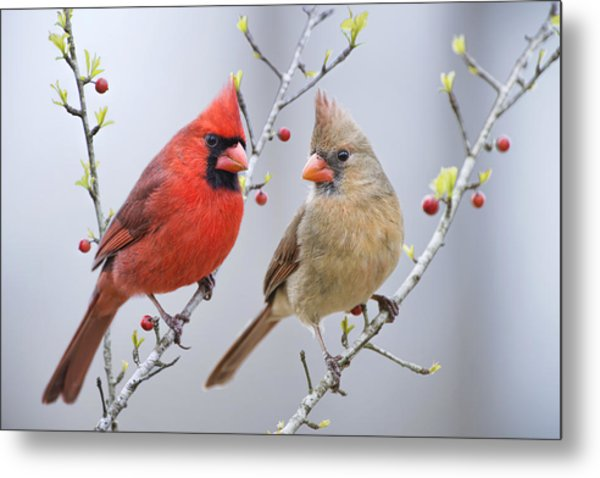 Cardinals In Early Spring Metal Print