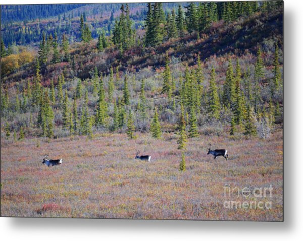 Metal Print featuring the photograph Caribou In Alaska by Kate Avery