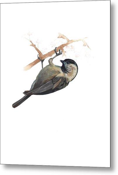 Carolina Chickadee Metal Print by Rachel Root