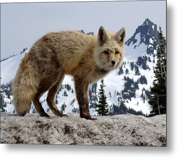 Cascade Red Fox 1 Metal Print