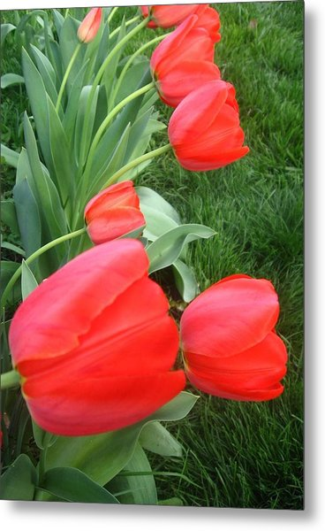 Metal Print featuring the photograph Cascading Red Spring Tulips by Deb Martin-Webster