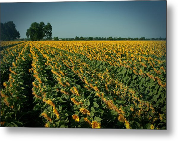 Cash Crop Metal Print