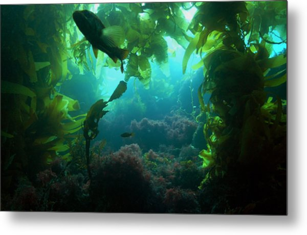 Catalina Kelp Forest Metal Print