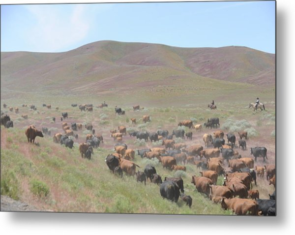 Cattle Drive In The Spring Metal Print by Lee Raine