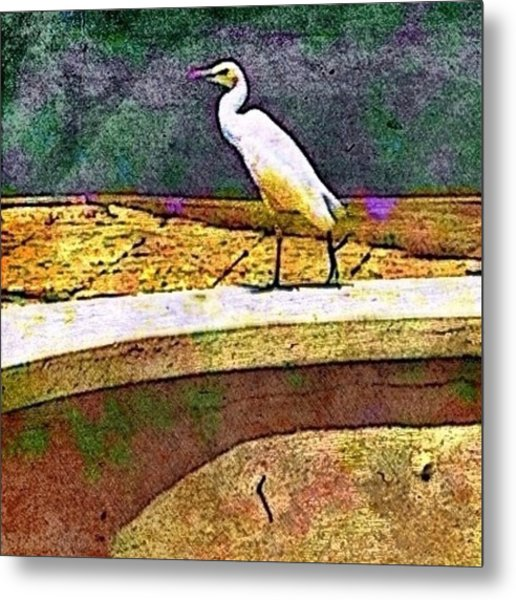 Cattle Egret In Town - Square Metal Print