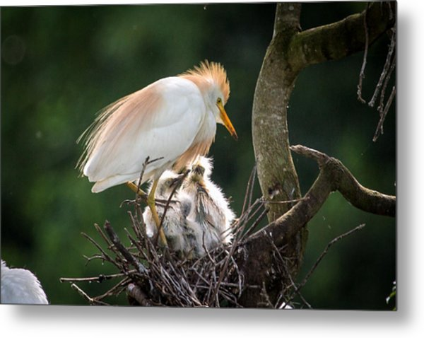 Cattle Egret Tending Her Nest Metal Print