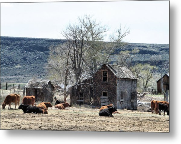 Cattle Flop House Metal Print by Ray Finch