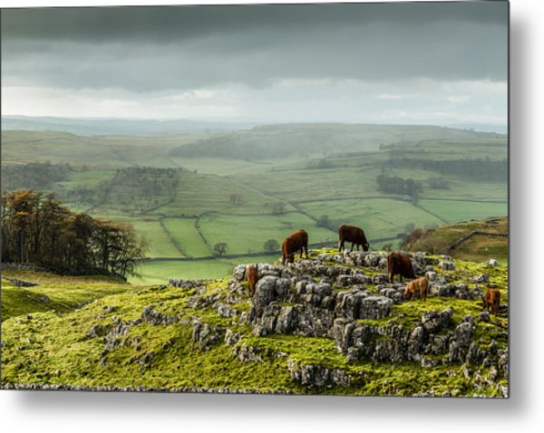 Cattle In The Yorkshire Dales Metal Print