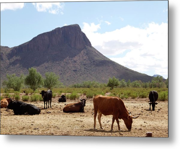 Cattle On The Ranch Metal Print