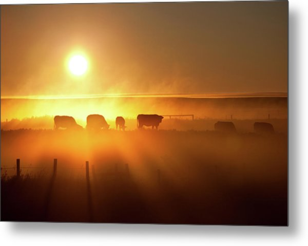 Cattle Silhouette On An Alberta Ranch Metal Print