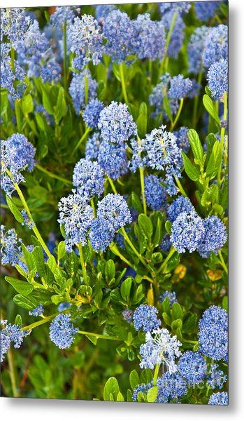 Ceanothus Impressus Santa Barbara Flowering Bush Metal Print