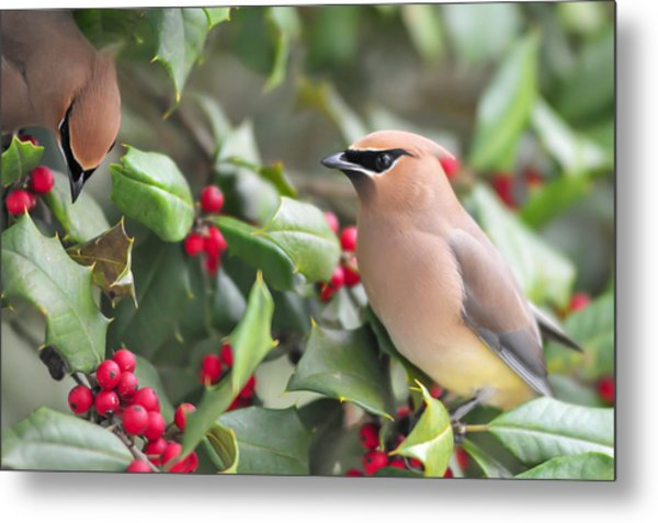Cedar Waxwing In Holly Tree Metal Print