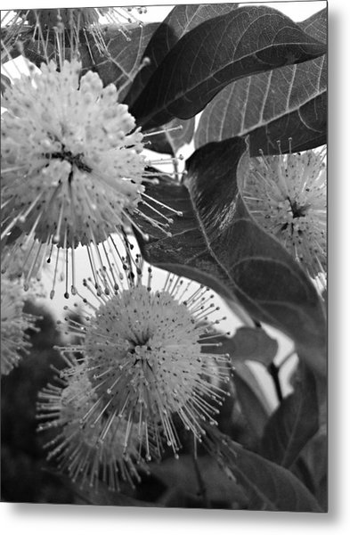Cephalanthus Occidentalis In Black And White Metal Print