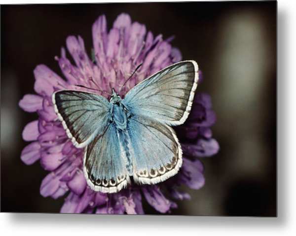 Chalkhill Blue Butterfly (lysandra Coridon), Close-up Metal Print by Alan P Barnes