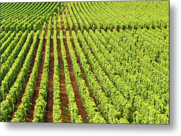 Champagne Vineyards In Cramant Metal Print by Alphotographic