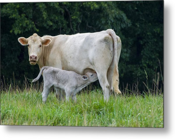 Charolais Cattle Nursing Young Metal Print