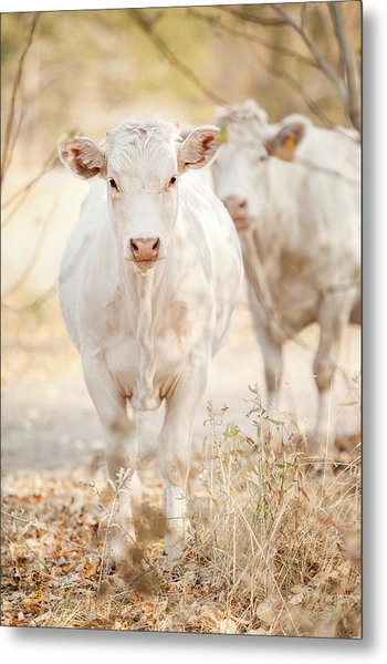 Charolaise Cow Standing & Looking At Metal Print