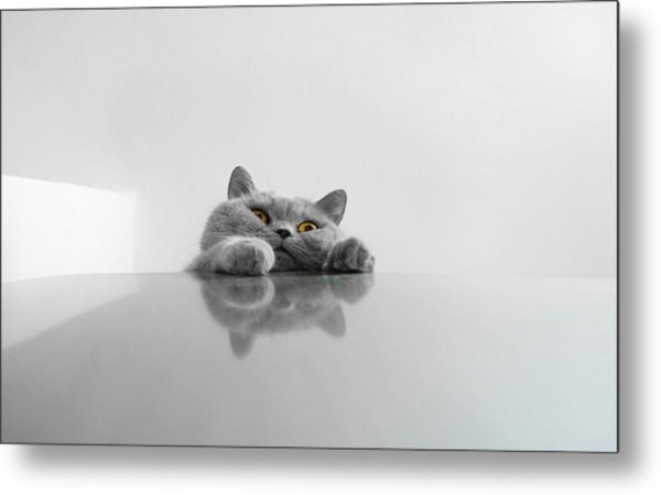 Chartreux Rearing Up On Table Against Metal Print by Dipak Maske / Eyeem