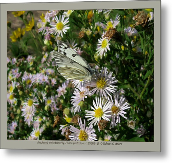checkered white butterfly - Pontia protodice - 11SE06 Metal Print by Robert G Mears