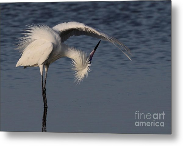 Checking For Leaks - Reddish Egret - White Form Metal Print