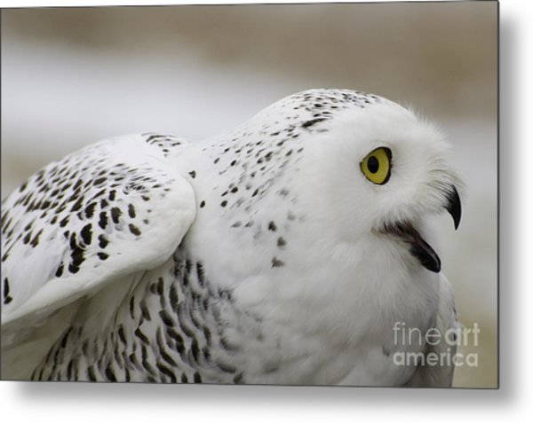 Cheeky Snow Owl Metal Print