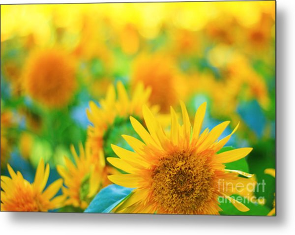 Cheerful And Happy Yellow Sunflower Field In Summer Metal Print