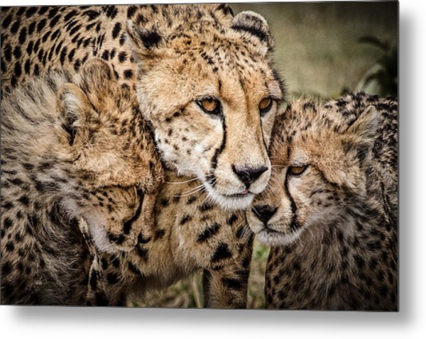 Cheetah Family Portrait Metal Print