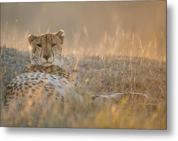 Cheetah Prepares To Sleep Metal Print